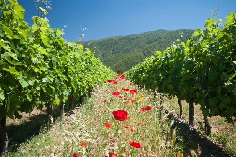 Vegaanista viininviljelyä